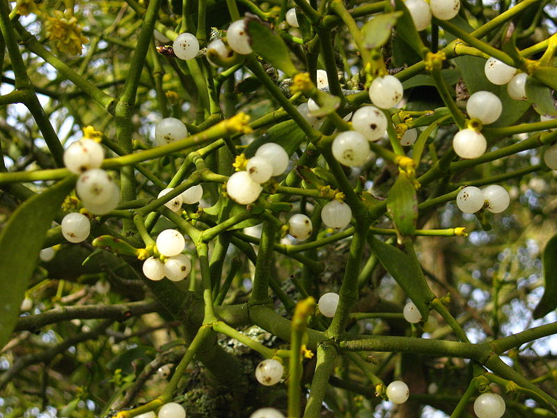 Mistletoe_Berries